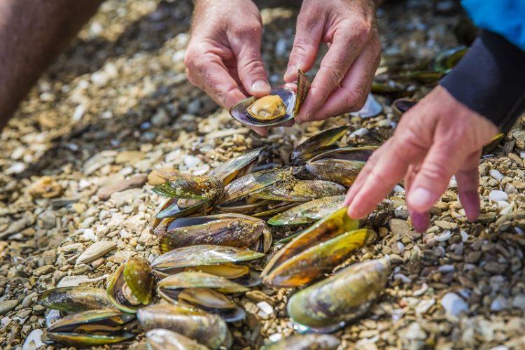 Preparing green lip mussels for lunch in Kenepuru Sound Marlborough Sounds